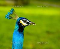 A beautiful peacock