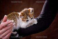 Little kitten sitting on human hand on brown studio background
