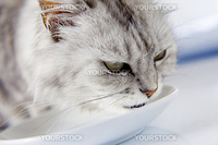 Pedigreed gray cat drinking milk from a saucer