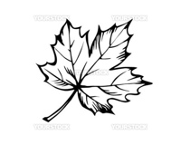 sketch of the sheet of the maple on white background