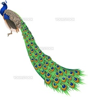 An illustration of a peacock with long tail