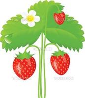 Vector illustration of ripe strawberry