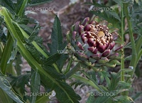 Large single lavender and green artichoke in vegetable garden