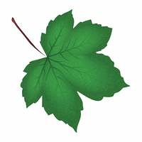 Image of realistic green maple leaf . Vector illustration isolated on white background.