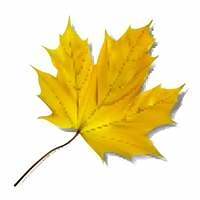 Yellow maple leaf on white background.