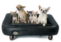 family chihuahua