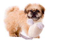 Playfull pekingese dog