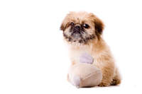 Pekingese dog wants to play