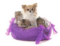 persian kitten and chihuahua