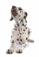 young female dalmatian barking
