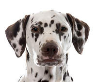 young female dalmatian