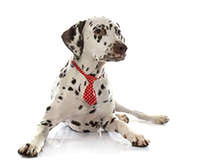 young female dalmatian and tie