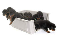 young puppies rottweiler in kennel