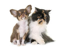tricolor persian cat and chihuahua
