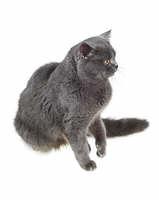 British cat sits and stares sideways