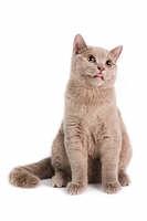 British Shorthaired Cat