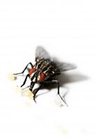 Nahrungsaufnahme einer Fliege