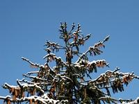 Zugeschneiter Nadelbaum