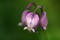 Makro der Zwergherzblume