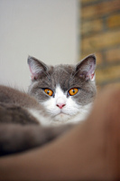 British shorthair cat with orange eyes