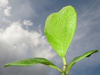 Hoya kerrii - Herzpflanze