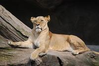Afrikansiche Lowin in Hagenbeck's Tierpark