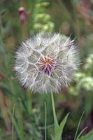 Riesen-Pusteblume [Tragopogon pratensis]