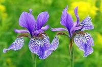 Zwei Sibirische Schwertlilien