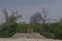 Lowin im Chobe Park