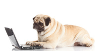 Pug Dog with laptop.