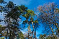 Alte Kiefern und Buchen am blauen Winterhimmel