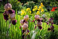 Schwertlilien im sonnigen Garten