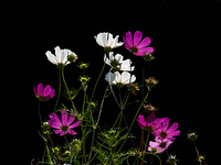 Cosmeenstrauch im Gegenlicht (Cosmos bipinnatus)