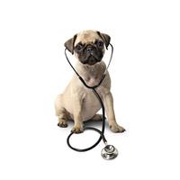 Hund mit Stethoskop isoliert auf wei?em Hintergrund