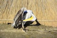 Pelikan Pelecanidae, Pelecanus beim Fl?gel Putzen