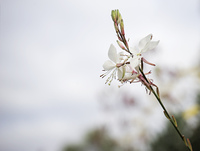 Gaura flower with neutral copy-space