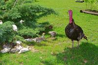 Truthahn, Meleagris gallopavo, Truthuhn mit Kueken im Garten, Tuba Tanya Ungarn