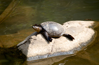 Turtle on rock in sunshine