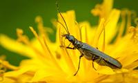 Insekt auf gelben L?wenzahn als Makro