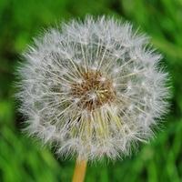 Detailaufnahme einer reifen L?wenzahnpflanze - Pusteblume