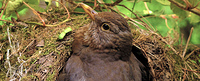 Breeding-female-blackbird-br?tende-turdus-merula-Checkerblick-seitlich-Draufsicht-IMG_6385-Kilian-Tribbeck-AS-QUEER-2500px