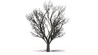 Apfelbaum im Winter auf wei?em Hintergrund
