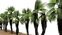 Chinesische F?cher Palmen - auf wei?em Hintergrund