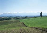 秋まき小麦と大雪山
