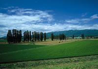 ポプラ並木と牧草地