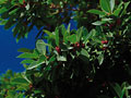 赤い木の実と葉