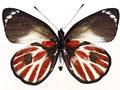 ゼブラカザリシロチョウ