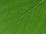 サクラの葉