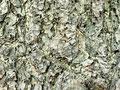 イチョウの樹皮