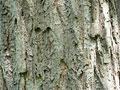 クリの樹皮